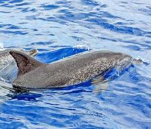 Madeiran delfiinit ja valaat